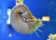 「生きた化石の赤ちゃん」に期待! パラオオウムガイ、鳥羽水族館をゆらゆら泳ぐ