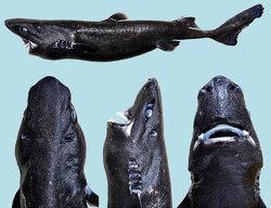 画像:新種のサメが「ニンジャ」と命名 艦これの深海棲艦「駆逐ロ級」にしか見えないと話題に/画像はニンジャカラスザメ=Victoria Elena Vasquez/JOSF